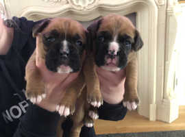 KC Registered Boxer Puppies