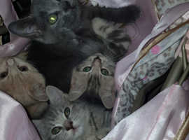 Russian blue with British Short Haired kittens