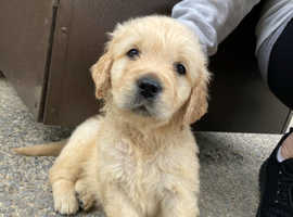 Golden Retriever Puppies for sale IKC Registered