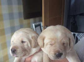 Gorgeous Chunky Labrador puppys