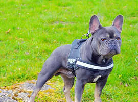 Blue and Tan French Bulldog for Stud