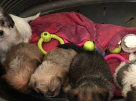 Shitzhu x miniature Yorkie Puppies