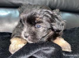 4 irresistible Morkie puppies