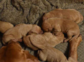 Hungarian vizsla pups one boy available due to time waister