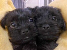 Jack Tzu puppies born 3/8/21