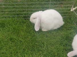 Albino female bunnies