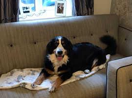 Bernese x puppies £900