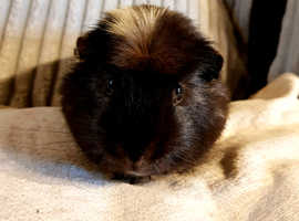 Boar guinea pig