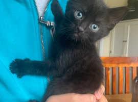 Siberian male kitten litter trained