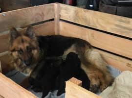 Long Haired German Shepherd Puppies Black & Tan