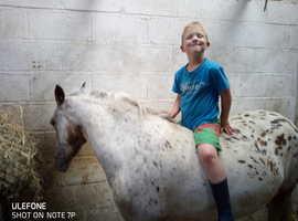 13hh spotty sports pony