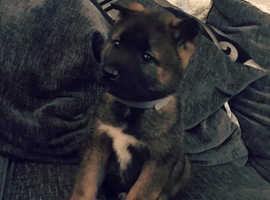 8 week old Akita Pup