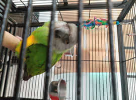 Senegal parrot with cage, food and more for sale