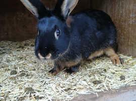Tan rabbit doe