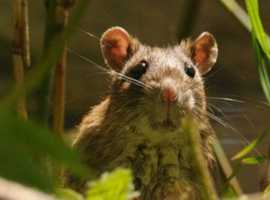 Expert Treatment for Rat Infestation | Youngs Pest Control