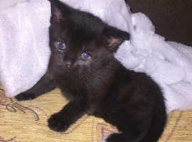 Two beautiful kittens looking for their Christmas and forever home