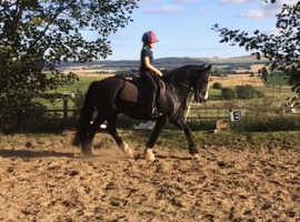 Super Handsome Welsh D cross 13.2hh gelding