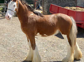 Heavy cob type
