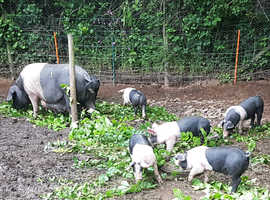 Saddleback x pietrain 9 week old weaners