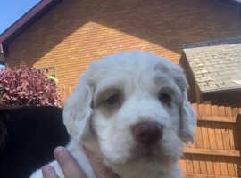 KC Reg male Clumber spaniel pup