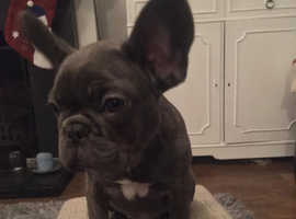 Stunning Blue, Kc Registered Frenchies