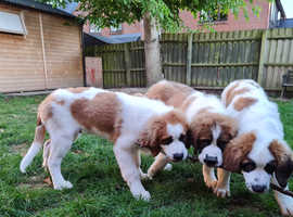 Rough Coated Saint Bernard Puppies Ready To Leave