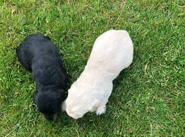 Beautiful litter of labradoodle s