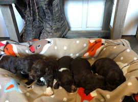 Chocolate sprocker puppies