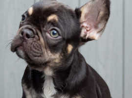 Beautiful French Bulldogs For Sale