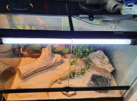 Male bearded dragon with set up