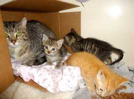 8 week old male kitten