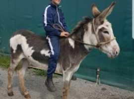 Irish donkey Mare