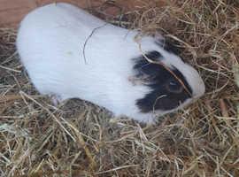 Very friendly male guinea pig