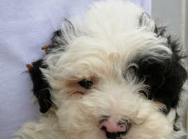 RARE STUNNINGLY CUTE PARTI COLOURED MINIATURE POODLE PUPPIES