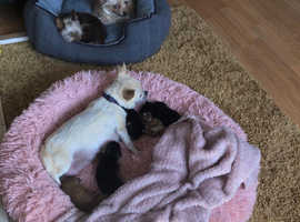 BEAUTIFUL LITTLE CHORKIE PUPS FOR SALE BORN ON 18TH SEPT.2020