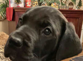 Beautiful Daniff / Mastidane (Mastiff X Dane) girl puppy...
