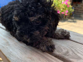 Miniature phantom poodle puppy