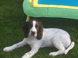 Kc reg 14 week male Springer spaniel