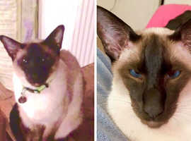 Stolen/missing Siamese cat