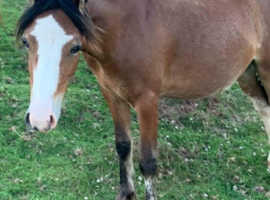Lovely companion or project pony