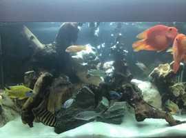 Sell Cichlids fish