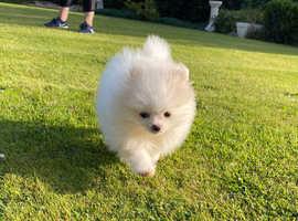 KC Pedigree White Female Pomeranian puppy