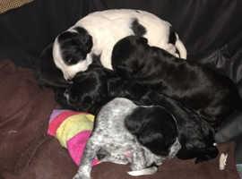 Cocker spaniel cross patterdale puppys