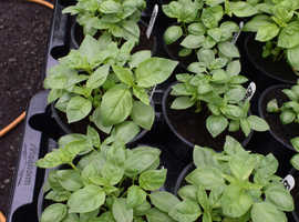 Superb selection of herbs, including Egyptian mint, specially grown for tea.