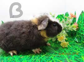 Guinea pig boys for sale