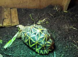 terrapin /adult tortoises