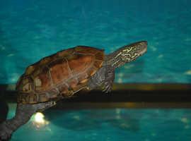 Reeves Turtles x2