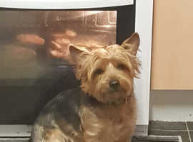 Yorkshire terrier male for stud