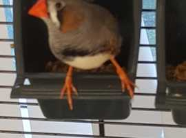 Lovely Finch. Free to a good home. More photos