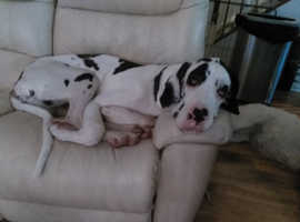 Beautiful male  harlequin Dane looking for Home with another dane for companionship